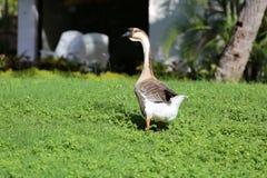 在绿草的鹅 库存图片