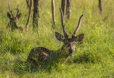 在绿草的鹿 免版税库存图片