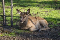 在绿草的鹿 免版税库存照片