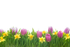 在绿草的水仙和郁金香花 库存图片