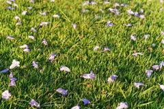 在绿草的紫罗兰色花 免版税图库摄影
