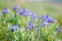 在绿草的紫罗兰色虹膜 免版税图库摄影