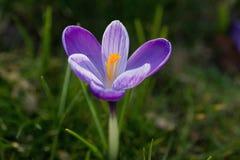 在绿草的紫色番红花 免版税库存图片