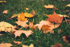 在绿草的黄色秋天槭树叶子 免版税图库摄影
