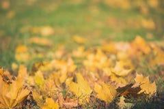 在绿草的黄色秋天槭树叶子 Bokeh弄脏了艺术性的背景 库存图片
