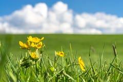 在绿草的黄色花调遣与蓝天,云彩 免版税库存照片