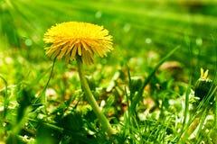 在绿草的黄色蒲公英花 免版税库存照片