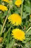 在绿草的黄色蒲公英 免版税库存照片