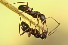 在绿草的黑蚂蚁 免版税库存照片