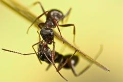 在绿草的黑蚂蚁 库存图片