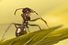 在绿草的黑蚂蚁 免版税库存图片