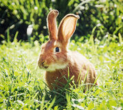 在绿草的兴高采烈的兔宝宝 库存照片