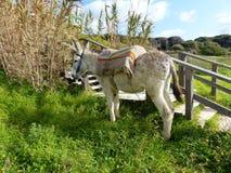 在绿草的驴 库存图片