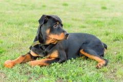 在绿草的黑Rottweiler 库存图片