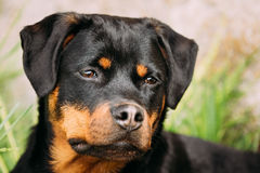 在绿草的年轻黑Rottweiler Metzgerhund小狗戏剧 库存照片