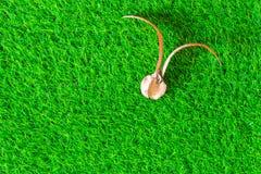 在绿草纹理背景的三叶橡胶树种子  库存图片