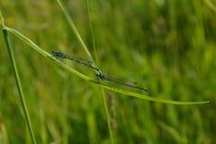 在绿草背景的两只蓝色蜻蜓  免版税库存照片