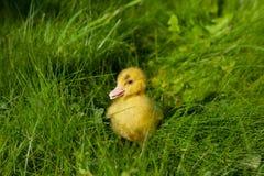 在绿草背景的小的黄色鸭子 库存图片
