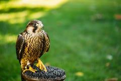 在绿草背景的旅游猎鹰 图库摄影