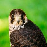 在绿草背景的旅游猎鹰 免版税图库摄影