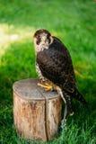 在绿草背景的旅游猎鹰 免版税库存照片