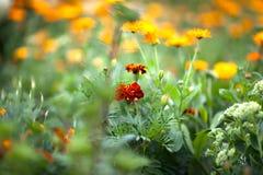 在绿草背景的明亮的红橙色花在夏天从事园艺 免版税库存图片