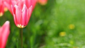 在绿草背景的桃红色郁金香 免版税库存照片