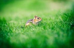 在绿草背景的特写镜头逗人喜爱的小的花栗鼠 图库摄影