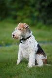 在绿草背景的狐狸狗 免版税图库摄影