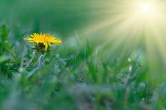 在绿草背景的蒲公英黄色花  免版税库存照片
