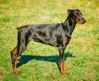 在绿草背景的黑短毛猎犬狗 免版税库存图片