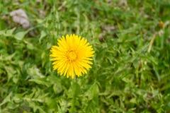 在绿草背景的黄色蒲公英  免版税库存图片