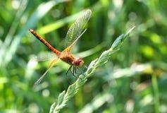 在绿草背景的蜻蜓  图库摄影