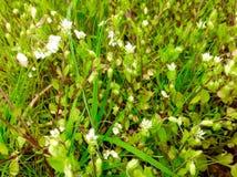 在绿草自然的美丽的狂放的白花 免版税库存照片