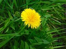 在绿草自然的美丽的狂放的黄色花 免版税库存图片