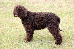 在绿草草坪的典型的爱尔兰水西班牙猎狗 免版税库存图片