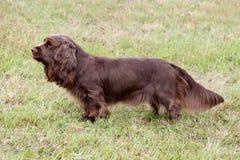 在绿草草坪的典型的苏克塞斯西班牙猎狗 库存图片