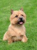 在绿草草坪的典型的诺威治狗 免版税库存照片