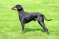 在绿草草坪的曼彻斯特狗 库存图片