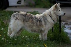 在绿草草坪的白色毛皮狗 免版税图库摄影