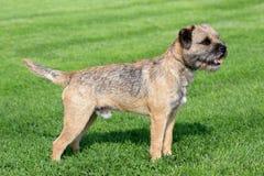 在绿草草坪的边界狗 库存图片