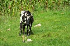 在绿草草甸的母牛 免版税库存图片