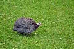 在绿草走的摄影的大奇怪的颜色鸡 免版税库存图片