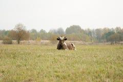 在绿草选择聚焦的自由放养的母牛 免版税库存图片