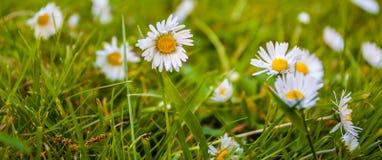 在绿草领域的夏天雏菊 免版税库存照片