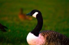 在绿草领域的鸭子 免版税图库摄影