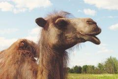 在绿草,夏天的骆驼 免版税图库摄影