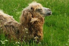 在绿草,夏天的骆驼 免版税库存图片
