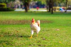 在绿草,曼谷的幼小母鸡在泰国 免版税库存图片