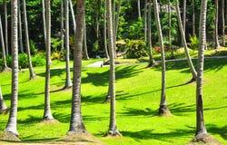 在绿草围场的一棵椰子树 库存图片
